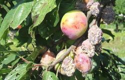 Россельхознадзор Территориальные управления Контрольное обследование на выявление ожога плодовых