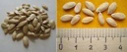 Для посадки лучше всего выбирать семена огурцов 2-3 летней давности, так как они дают растения с обильной завязью.