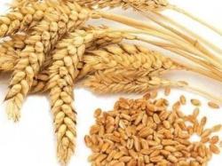 Пробная партия российской пшеницы подготовлена к отправке в Саудовскую Аравию