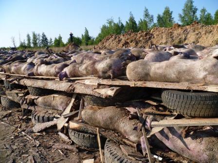 Об опасном пути инфицирования крупных свиноводческих хозяйств вирусом АЧС